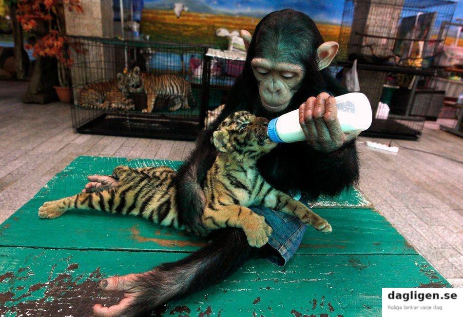 orangutangtiger